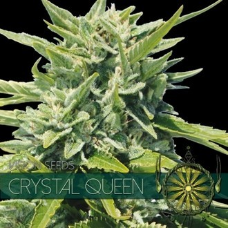 Crystal Queen (Vision Seeds) feminizada