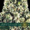 Amnesia Haze Autoflowering (Vision Seeds) feminizada