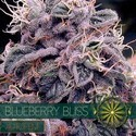 Blueberry Bliss Autoflowering (Vision Seeds) feminizada