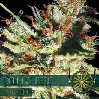 Delhi Cheese Autoflowering (Vision Seeds) feminizada