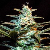 Ice Cool (Sweet Seeds) feminizada
