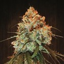 Golden Tiger (ACE Seeds) feminizada