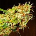Zamaldelica (ACE Seeds) feminizada