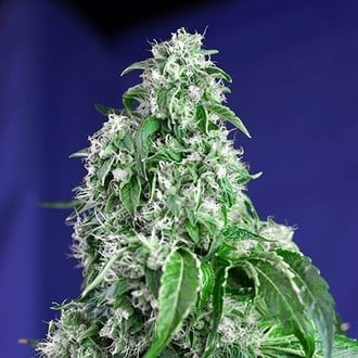 Big Devil - F1 Fast Version (Sweet Seeds) feminizada