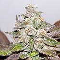 Mendocino x Purple Kush (Medical Seeds) feminizada