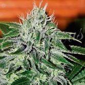 Critical Jack Herer (Delicious Seeds) feminizada