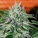 Critical Jack Herer (Delicious Seeds) feminizada