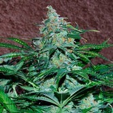 Amnesia Auto (World of Seeds) feminized