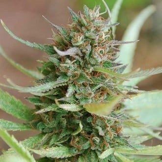 Strawberry Blue (World of Seeds) feminizada