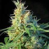Psicodelicia (Sweet Seeds) feminizada