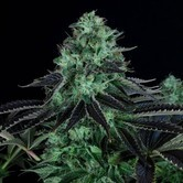 Darkstar Kush (T.H. Seeds) feminizada