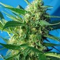 Ice Cool Auto (Sweet Seeds) feminizada