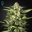 Jack Herer Auto (Greenhouse Seeds) feminizada