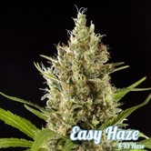 Easy Haze (Philosopher Seeds) feminizada