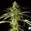 Gokunk (Philosopher Seeds) feminizada