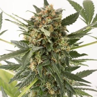 Kush-n-Cheese Autoflowering (Dinafem) feminizada
