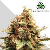 Auto Pounder with Cheese (Auto Seeds) feminizada