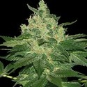 Afghan Kush (World of Seeds) feminizada