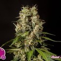 SweetLove (Philosopher Seeds) feminized