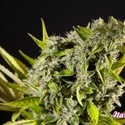 Orange Candy (Philosopher Seeds) feminizada