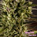 Spicy CBD (Philosopher Seeds) feminizada