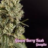 Guayita (Philosopher Seeds) feminizada