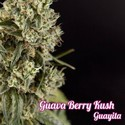 Guava Berry Kush (Philosopher Seeds) feminizada