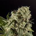 Guava Berry Kush (Philosopher Seeds) feminizada