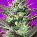 Botafumeiros (Sweet Seeds) feminizada