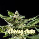 Cheesy Auto (Philosopher Seeds) feminizada