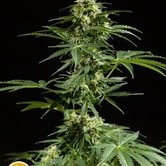 Cheesy Auto (Philosopher Seeds) feminized