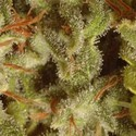 Collection Pack Sativa Champions (Paradise Seeds) feminizada