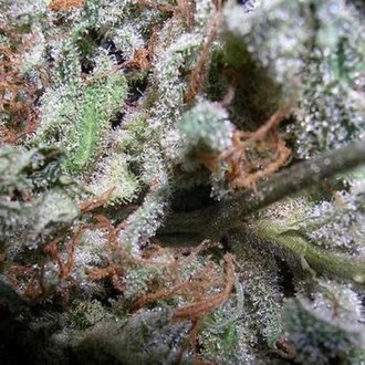 Collection Pack Indica Champions (Paradise Seeds) feminizada