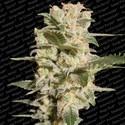 Belladonna (Paradise Seeds) feminizada