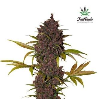 LSD-25 (FastBuds) feminizada