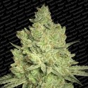 Jacky White (Paradise Seeds) feminizada
