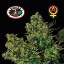 Chiesel Autofloreciente (Big Buddha Seeds) feminizada
