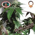 Buddha Kush OG (Big Buddha Seeds) feminizada