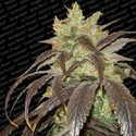 Spoetnik 1 (Paradise Seeds) feminizada