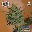 Blue Cheese Autofloreciente (Big Buddha Seeds) femninizada