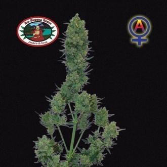 Blue Cheese Autofloreciente (Big Buddha Seeds) femninizada