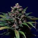 Sweet Purple (Paradise Seeds) feminizada