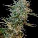 Haze Gom (Grass-O-Matic) feminizada