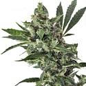 Med Gom 1 (Grass-O-Matic) feminizada