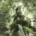 Rollex OG Kush (Devil's Harvest) feminizada