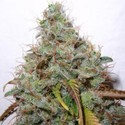 White Berry (Paradise Seeds) feminizada