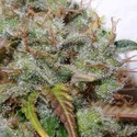White Berry (Paradise Seeds) feminizada