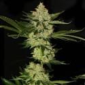 UnderDawg OG (T.H. Seeds) feminizada