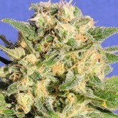 Auto Destroyer (Original Sensible Seeds) feminizada