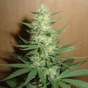 Big Bud (Homegrown Fantaseeds) feminizada